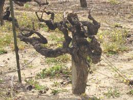 樹齢100年以上のグルナッシュ