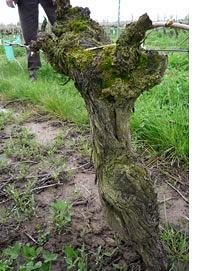 最高樹齢85年のプティ・ヴェルドー
