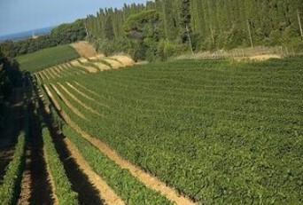 カステッロ・ディ・ボルゲリの畑