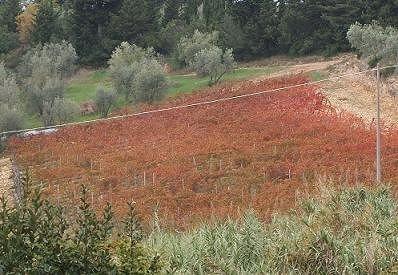 テヌータ・イル・コルノの畑