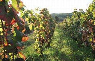 ドミニク・ローランの葡萄畑