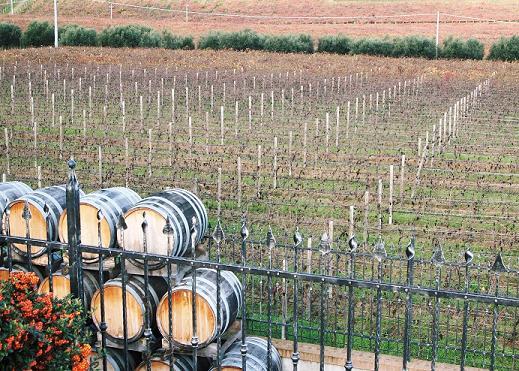 マラミエーロ・ブリュト・スプマンテ ピノ・ネロの畑