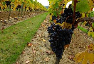 収穫前のモンペラの葡萄